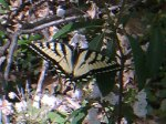 Sure to be seen on Trail Day: tiger swallowtails.