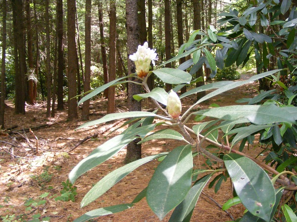In early July, Rhododendron State Park's famous blooms are still a couple of weeks away.