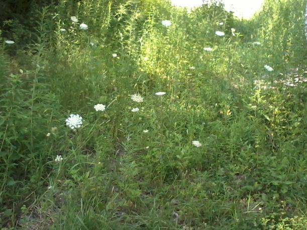 Queen Anne's Lace is at full strength in July.