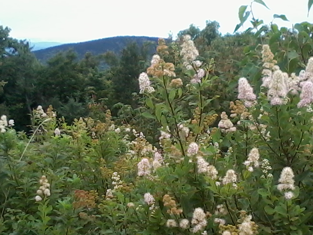 Flowers on summit of Pack Monadnock NH