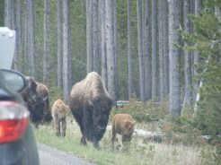 Bison traffic jam: it was unusual to see calves at close range.