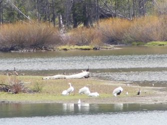 I wasn't surprised to see eagle and osprey, but these pelicans were unexpected.