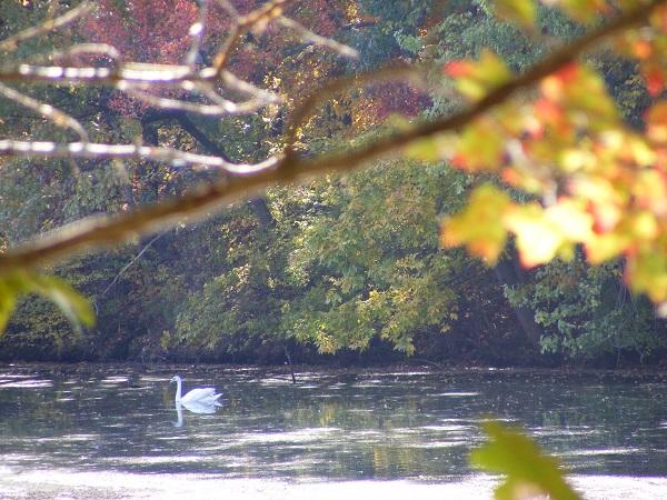 swan along NRRT