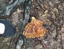 With my shoe (at left) for scale, this was a ground-hugging mushroom that blended in very well with the forest floor.