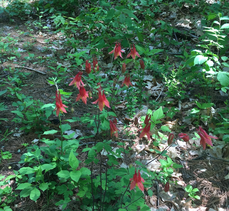 columbines along trail