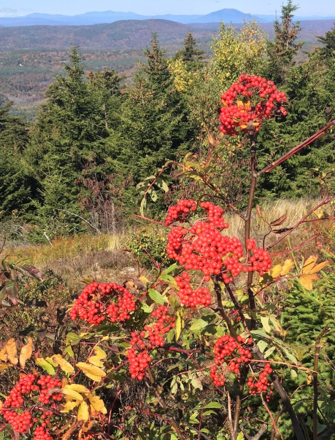 berries on hilltop, autumn in NH