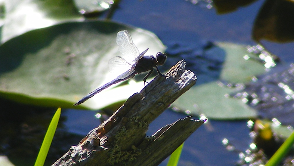Dragonfly on log in pond