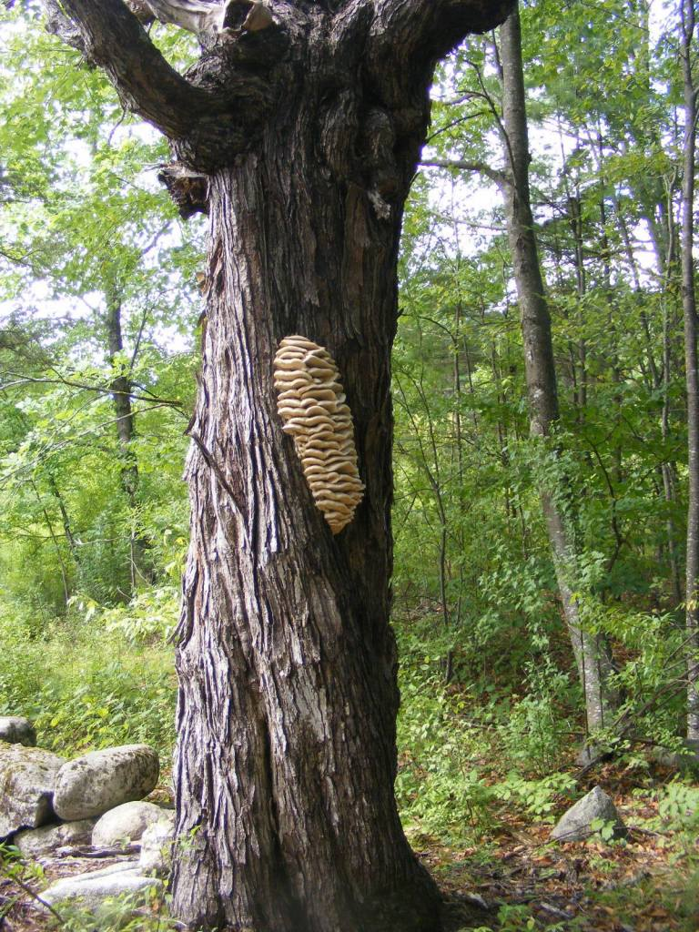 Large maple tree hosting large fungus, mushroom, located in New England