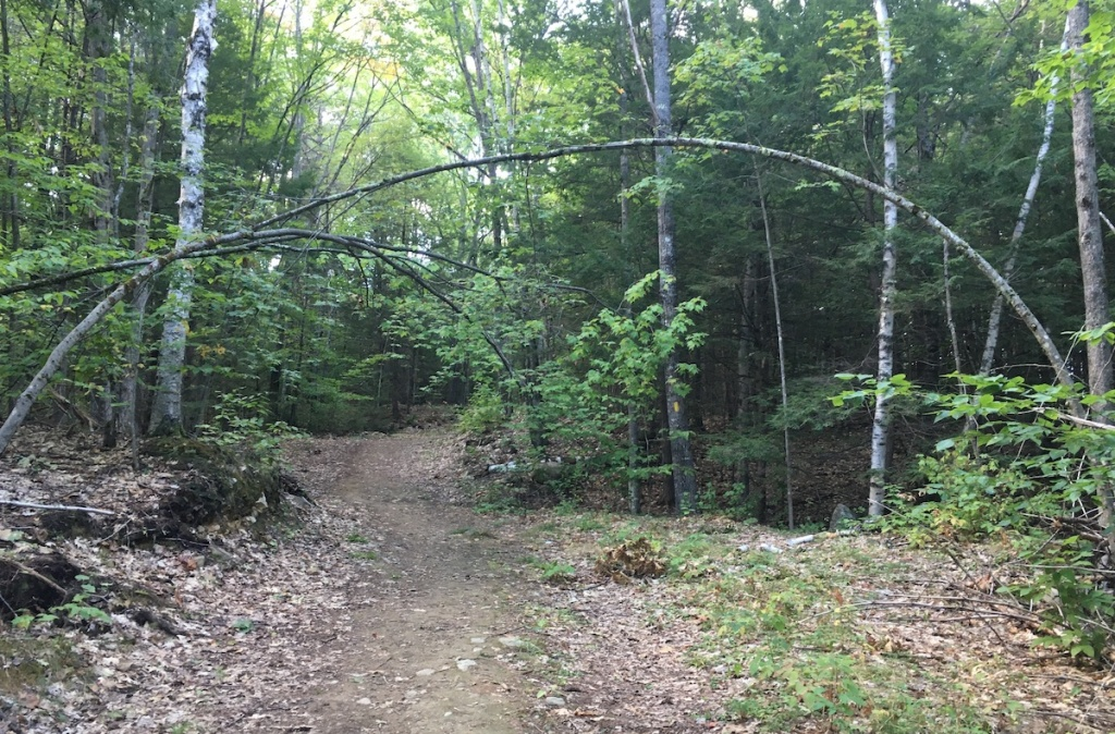 Slender trees forming archway, Weeks Forest, Gilford NH