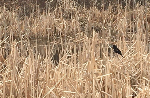Blackbird amid reeds